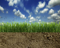 Green grass in the dirt Royalty Free Stock Photography
