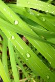 Green Grass & Divine Drops. Macro blades of thick green grass with water droplets from rain Royalty Free Stock Photos