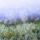 Green grass with the droops Royalty Free Stock Photo