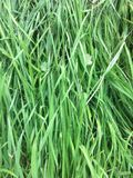 Green grass with droplets of dew Stock Image
