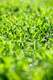 Green grass with drops of dew Royalty Free Stock Photo