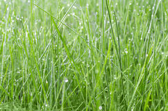 Green grass in drops of dew Stock Images