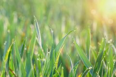 Green grass with drops of dew at sunrise. Beautiful morning sunlight spring season. stock images