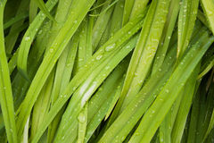 Green grass with the drops of dew Royalty Free Stock Images