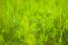 Green grass and drops of morning dew Stock Image