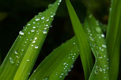 Green grass with drops of water. Green stems of grass with drops of water Stock Images