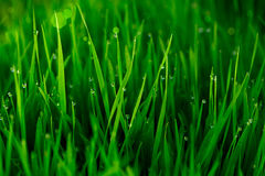 Green Grass With Early Morning Dew Drops. ~ Bokeh In Background Stock Photo