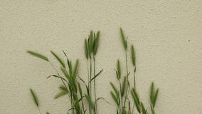 Green grass with ears on the background of a white relief wall. royalty free stock photo