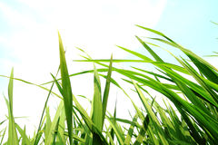 Green grass,environmental protection concept. Green grass,development environmental protection concept royalty free stock image