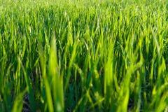 Green grass. With evening sunlight Stock Photo