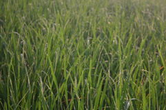 Green grass. Exposed to dew water in the morning Stock Image