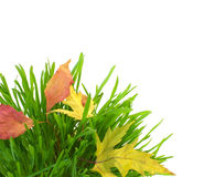 Green grass and fall leaves, isolated on white Stock Images