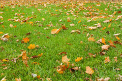 Green grass and fallen leaves. Autumn background. Green meadow covered with fallen leaves. Falling maple leaves and green grass on ground. Autumn leaves on lawn Royalty Free Stock Image