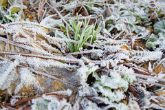Green grass and fallen leaves in hoarfrost Royalty Free Stock Photos