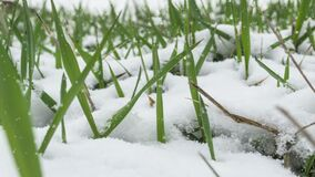 Green grass after falling snow. In spring, beautiful stock video