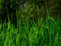 Green Grass. On green field Royalty Free Stock Image