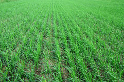 Green grass field. With row herb Stock Photography