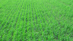 Green grass field. With row herb Royalty Free Stock Photo
