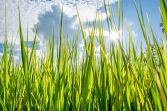 Green grass. Field in the afternoon background Royalty Free Stock Photos