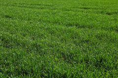 Green grass field as background. Beautiful natural backdrop royalty free stock photography