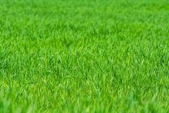 Green grass on the field - background stock image