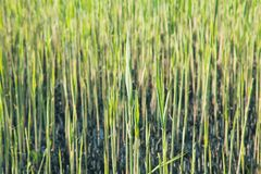 Green grass on the field. Background royalty free stock photo
