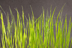 Green grass field on a black background Royalty Free Stock Photography