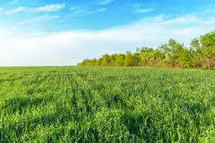 Green grass field and blue sky Royalty Free Stock Photography