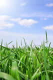 Green grass field and blue sky with sun light Stock Image