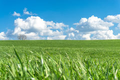 Green grass field, blue sky, white clouds and a tree. Royalty Free Stock Image