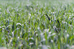Green grass field with blurry parts. Green grass field with blurry and soft Royalty Free Stock Photos