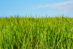 Green grass field and bright blue sky stock image