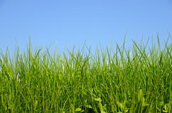 Green grass field and bright sky Stock Photography