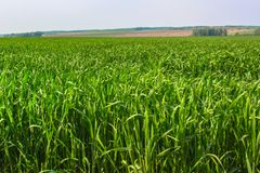 The Green Grass Field. On Bright Summer Day Stock Images