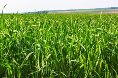 The Green Grass Field. On Bright Summer Day Stock Photography
