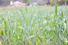 Green grass field closeup. With house afar Royalty Free Stock Photo