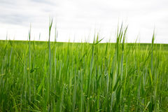 The green grass field Stock Photography