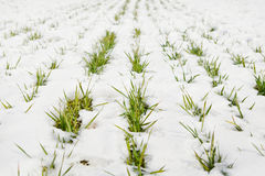 Green grass on a field covered with snow Royalty Free Stock Image