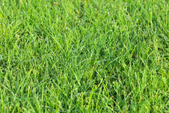 Green grass field with drops of morning dew Royalty Free Stock Photography