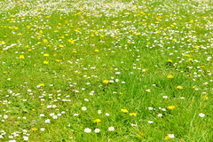 Green grass field with flowers Royalty Free Stock Images