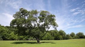 Green grass field and fresh tree. Public park with green grass field and green fresh tree plant stock footage