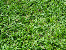 Green Grass field in garden.  Stock Photos