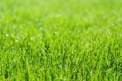 Green grass field or lawn. Summer background with copy space. Selective focus. Natural sunlight stock photos