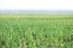 Green grass on the field in the morning in the fog royalty free stock image