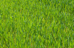 Green grass field. Nature background.  Grass texture Stock Images