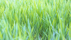 Green grass field in nature Royalty Free Stock Photo