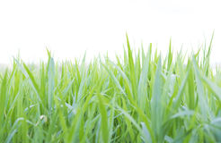 Green grass field in nature Royalty Free Stock Images