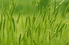 The green grass of the field. Selective soft focus. The green grass of the field. Selective focus Royalty Free Stock Photos