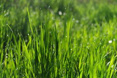 Green grass field suitable for backgrounds or wallpapers Royalty Free Stock Photo
