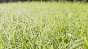 Green grass at the field in summer day. Grass background in the studio. the glare of the sun on the grass. Nature. HD Royalty Free Stock Photography